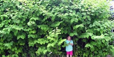Invaze cizokrajných rostlin v hledáčku botaniků