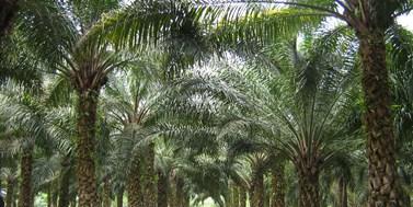Ekologická hrozba schutí palmového oleje