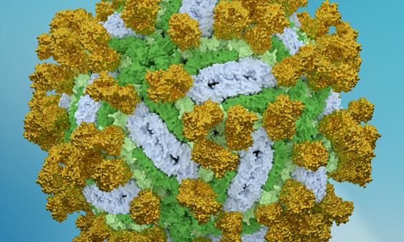 Vědci zCeitecu MU odhalili, jak protilátka ničí virus klíšťové encefalitidy