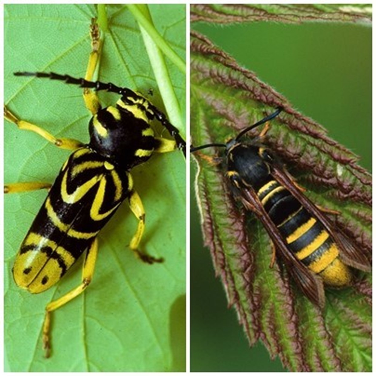 A wasp-mimicking longhorn beetle (left) and corn-borer moth (right).  Photos courtesy of Mike Runtz.