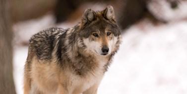 Vlk způsobuje statisícové škody. Co s tím?