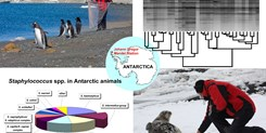 Characterization of Staphylococcus intermedius group isolates associated with animals from Antarctica and emended description of Staphylococcus delphini