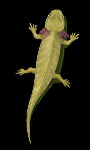Discosauriscus austriacus je v boskovické brázdě jedním z nejhojněji nalézaných permských čtvernožců.