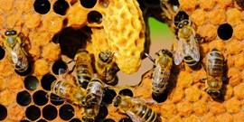 Scientists from CEITEC demonstrated the way a sacbrood honeybee virus enters the cells